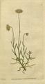 The Botanical Magazine, Plate 33 (Volume 1, 1787).png