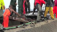 File:The Killing of Bluefin Tuna.webm