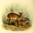 The book of antelopes (1894) Cephalophus doriae.png