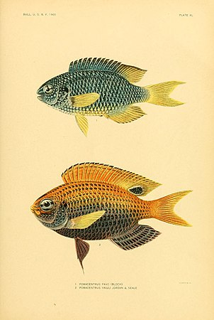 The fishes of Samoa (Plate XL) (5998996100).jpg