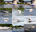 This young swan has to fly for his life because of this speedboat. Normally they pass slowly. Afterwards the swan and the boat got rest at Remich Luxemburg - panoramio.jpg