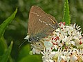 Thomisidae - Misumena vatia (8304371186).jpg