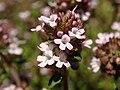 Thymus vulgaris 2021-05-31 7313.jpg