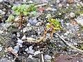 Tillaea aquatica sl6.jpg