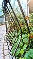 Tinospora cordifolia spirals on the curve of iron.jpg
