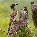 Tockus nasutus -Limpopo, South Africa-8.jpg