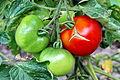 Tomate (Solanum lycopersicum) 02.jpg