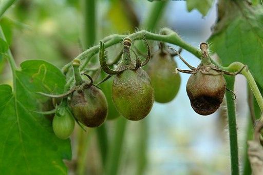 Tomato late blight fruit cluster (5816739612)