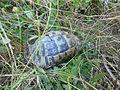 Tortoises in Krushevska Reka valley - P1100142.JPG