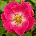 Trackside Wild Rose - geograph.org.uk - 859028.jpg