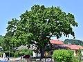 Traisen - Naturdenkmal LF-081 - Stieleiche (Quercus robur) - 2.jpg