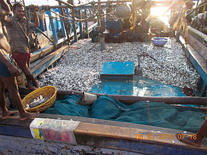 Animals in culture - Traditional fishing trawler filled with sardines, India