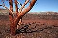 Tree outback Australia.jpg