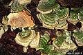 Trichaptum biforme01.jpg
