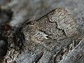 Trichiura crataegi ♂ - Pale eggar (male) - Коконопряд боярышниковый (самец) (40299039044).jpg