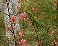 Trichoglossus chlorolepidotus -Brisbane Botanic Gardens at Mount Coot-tha, Queensland, Australia -feeding on nectar-8.jpg