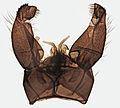 Tricyphona immaculata, Trawscoed, North Wales, May 2015 3 (23185551283).jpg