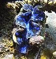 Tridacna squamosa in Samalona Island.jpg