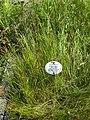 Triglochin palustris - Botanischer Garten, Frankfurt am Main - DSC03239.JPG