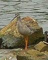 Tringa erythropus 3.jpg