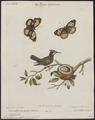 Trochilus cristatus - 1700-1880 - Print - Iconographia Zoologica - Special Collections University of Amsterdam - UBA01 IZ19100463.tif