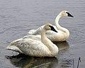 Trumpeter Swans (15842655026).jpg