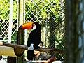 Tucano-Toco do CIGS.jpg