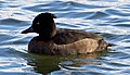 Tufted Duck female (6286295674).jpg