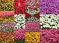 Tulip 113800.jpg