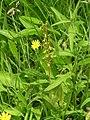 Twayblade orchid. - geograph.org.uk - 500609.jpg