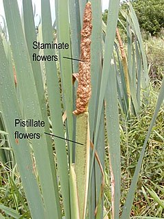 <i>Typha latifolia</i> Species of plant