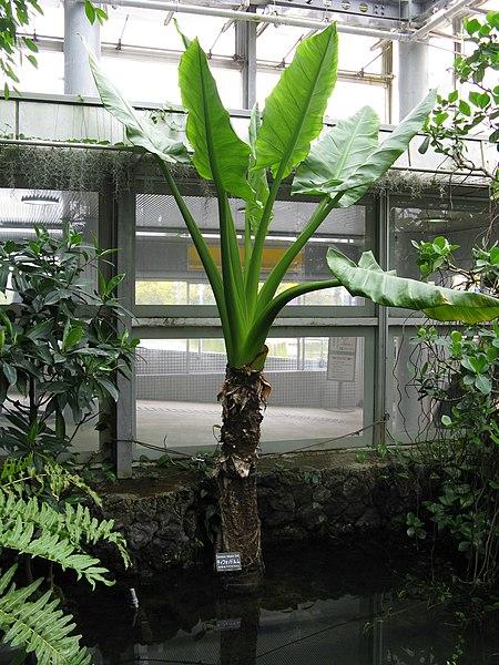 typhonodorym ou bananier aquatique