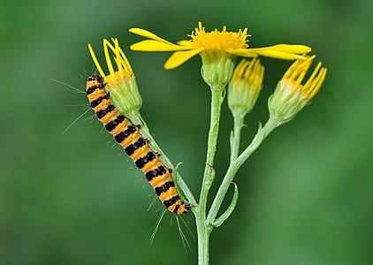 Caterpillar of a Cinnabar Moth