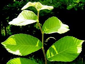 Ulmus gaussenii - Image: U. gaussenii foliage 2