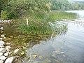Ufer des Laacher Sees.jpg