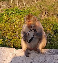 Uluwatu monkey 2 - stolen sunglasses (cropped).jpg