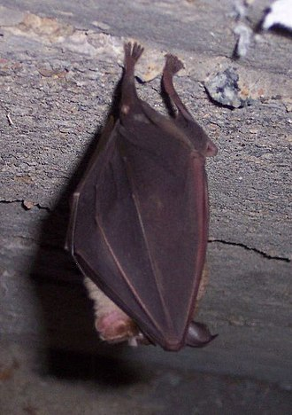 Natural reservoir - Bats are natural reservoirs of some diseases.