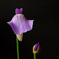 240px utricularia lateriflora