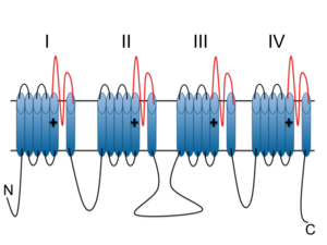 Cav1.3 - Schematic representation of the alpha subunit of VDCCs showing the four homologous domains, each with six transmembrane subunits. P-loops are highlighted red, S4 subunits are marked with a plus indicative of positive charge.