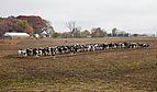 Vacas comiendo pienso, Kokomo, Indiana, Estados Unidos, 2012-10-20, DD 07.jpg