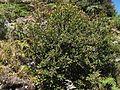 Vaccinium consanguineum arbusto pequeño.JPG