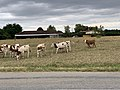 Vaches Route Dommartin St Genis Menthon 2.jpg