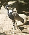 Vanellus spinosus 1.jpg