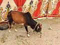 Vechur cattle-1-praba pet-salem-India.jpg