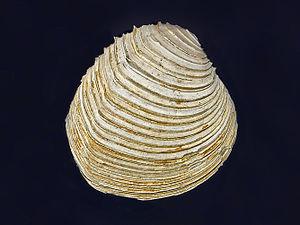 Circomphalus - Fossil valve of Circomphalus foliaceolamellosus from Pliocene of Italy