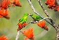 Vernal Hanging Parrot love.jpg