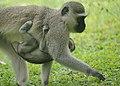 Vervet Monkeys (6623591499).jpg