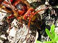 Vespa crabro (European hornet), Elst (Gld), the Netherlands - 2.jpg