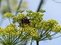 Vespa velutina nigrithorax, Josselin, France 02.jpg