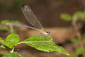 Vestalis apicalis female on Kadavoor.jpg